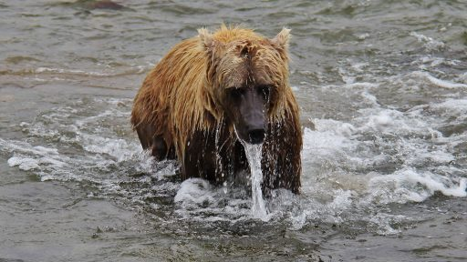ml_bear_wet
