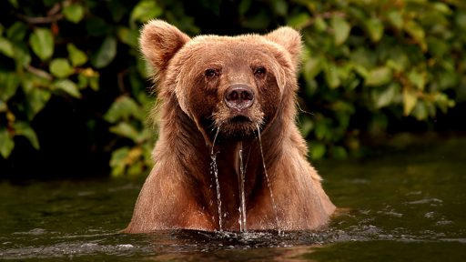 ml_bear__swimmingbear