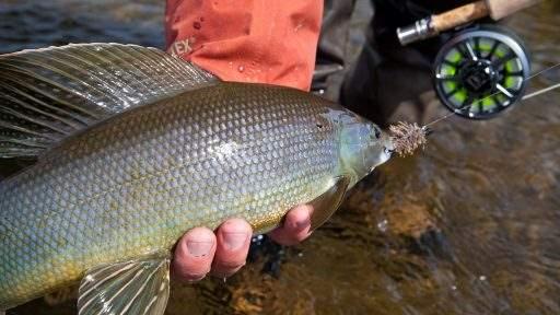 ml_fish_grayling_held