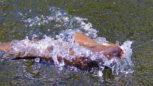 ml_fish_grayling_splash