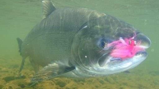 ml_fish_silver_under
