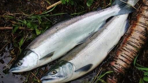 ml_fish_sockey_pair