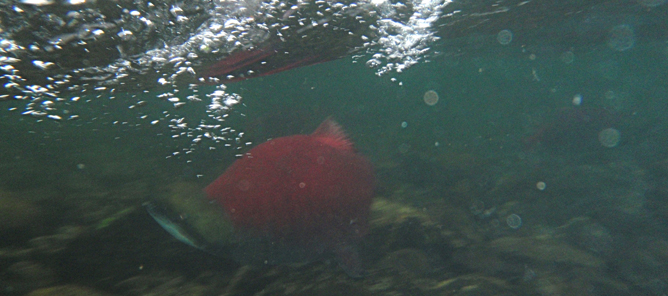 An under water shot of Sockeye Salmon on the Agulapak River in Bristol Bay Alaska.