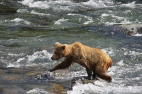 Bears at Brooks Falls in Katmai National Park Alaska