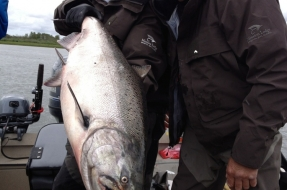 Big King Salmon  in Bristol Bay Alaska at Mission Lodge