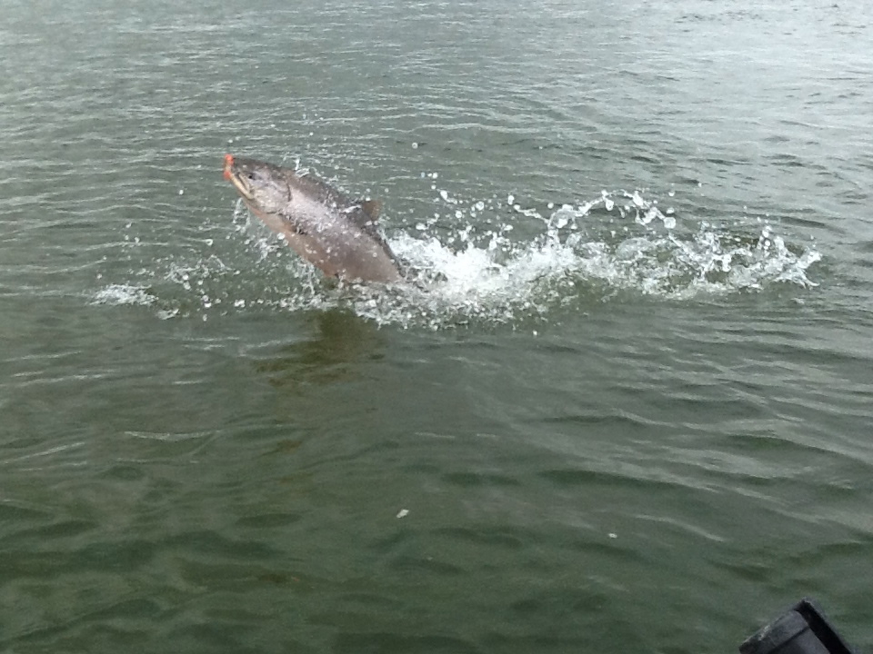 King Salmon jumping on the Nushagak River in Bristol Bay
